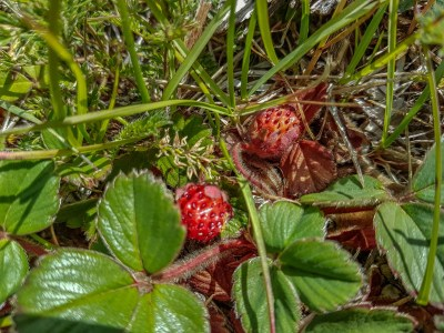 Foraging Patagonia - Wild Strawberries