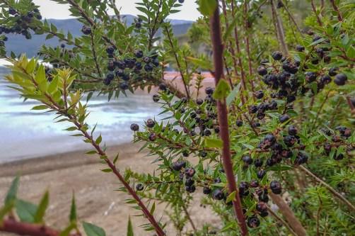 Foraging Patagonia - Black Chaura (I think)
