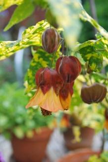 A crazy cultivar of abutlion. Photo: Mr. Edible