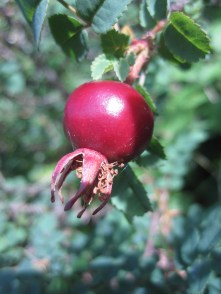 Burnet rose hip red