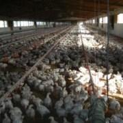 Las redes del Ministerio de Agricultura con los productores de pollo coludidos