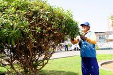 Mejoran aspecto de Plaza Prat y Baquedano con nuevas especies arbóreas