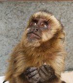 """SAG Tarapacá rescata ejemplar de """"mono capuchino"""""""