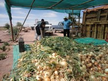 En pleno desierto agricultores innovan en el cultivo de cebollas