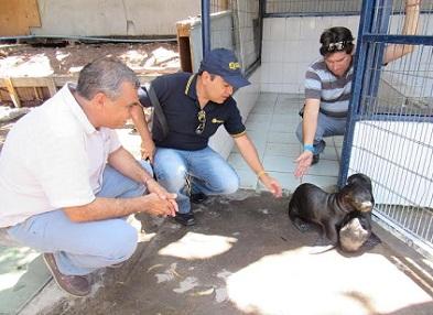 Lobitos marinos rescatados por Sernapesca, serán sometidos a un plan de recuperación en el Centro del municipio.