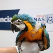 Rescatan a 9 polluelos de guacamayosen Aduana El Loa, cuando los trasladaban para ser comercializados en el centro del país