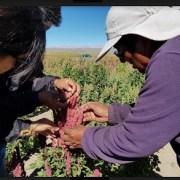 VII Congreso Mundial de la Quinua y granos andino contempla recorridos por predios de Colchane y Huara