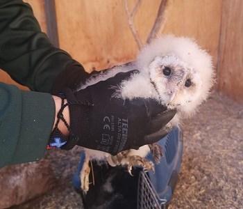 SAG envía polluelo de lechuza a rehabilitación a Antofagasta, luego de ser rescatado desde intalaciones de una empresa