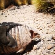 Oculto en camión descubren a quirquincho de la puna.Ejemplar fue tomado de su hábitat natural para ser usado como mascota