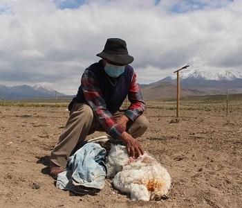 Ganaderos de Colchane preocupados por inusuales ataques a su ganado. Alrededor de 50 crías de llamos y alpacas resultaron dañadas.