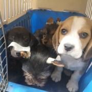 Una veinte de cachorritos canino que ingresaban de contrabando, fueron retornados a Bolivia por el SAG