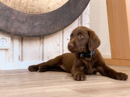 Chocolate Lab puppy ready to give men empathy not sympathy by being close contact and always faithful. He can give doggy hugs and even cry with you.