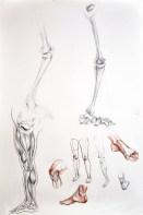 Rysunki anatomiczne nóg