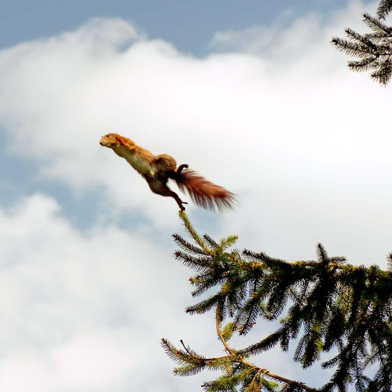 Ein Eichhörnchen stößt sich vom Zweig einer Tanne ab. Es berührt den Zweig nur noch mit einem seiner Hinterbeinchen, ist somit kurz vor dem Absprung. Das Bild steht symbolisch für die Absprungrate auf einer Website..