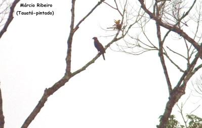 Wikiaves: Conheça as 64 espécies de aves  registradas uma única vez em Peruíbe/SP
