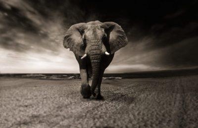 Dose para Elefante