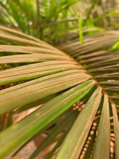 Harmattan dust on palm frontds