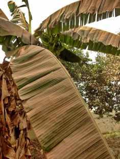 Banana tree covered in Harmattan dust