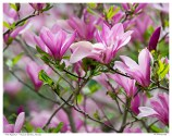 """Pink Magnolias"" - Edwards Gardens, Toronto"