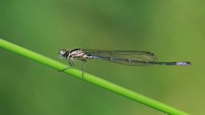 2 variabele waterjuffer (Coenagrion pulchellum)