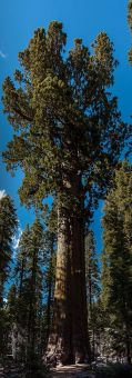 340px-united_states_-_california_-_sequoia_national_park_-_general_sherman_tree_-_panorama