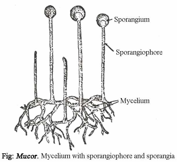 Mucor Zygomycetes