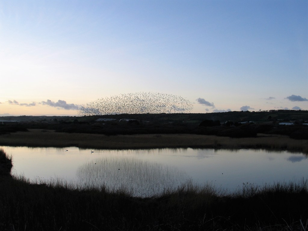 Starling murmuration Marazion marsh