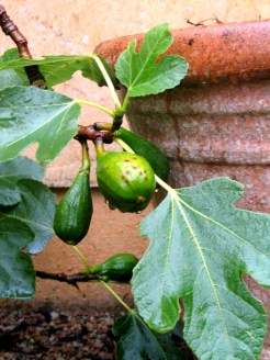 Newly forming figs