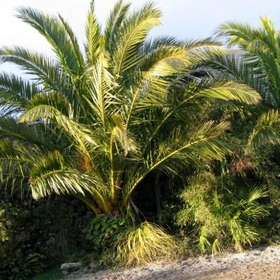 Phoenix Canarias