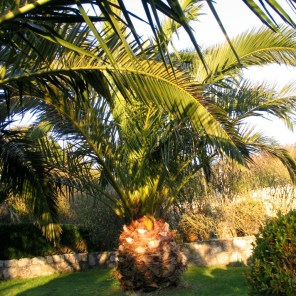 The date palms