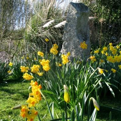 Mixed Daffodils