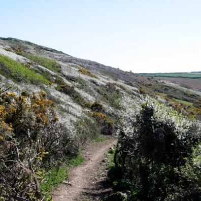 Cornwall in spring with may flowers and gorse