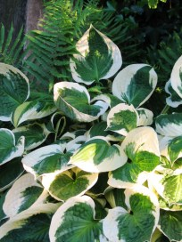 Hostas do amazing well beside the stables - I think we have some resident toads to eat the slugs