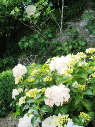 Delicate white Hydrangeas and a bench under a fig tree in a side courtyard