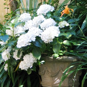 White hydrangeas in an urn
