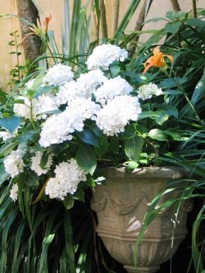 White hydrangeas in an urn