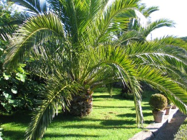 Date palms in an Italianate courtyard garden