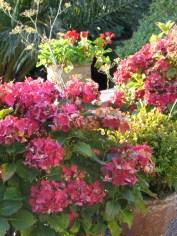 The Hydrangeas have faded towards autumn now
