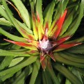 The rosettes of fascicularia bicolor have started to change colour now