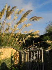 The tall pampas seeds still add drama to the garden