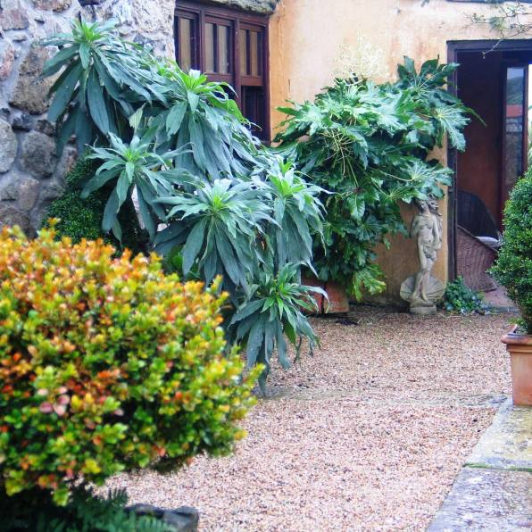 The courtyard corner looks lusher with the self seeded Echium