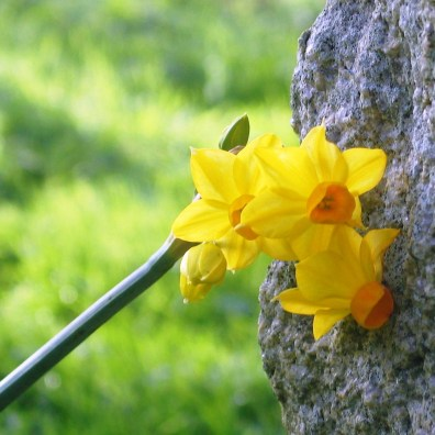 very early narcissi