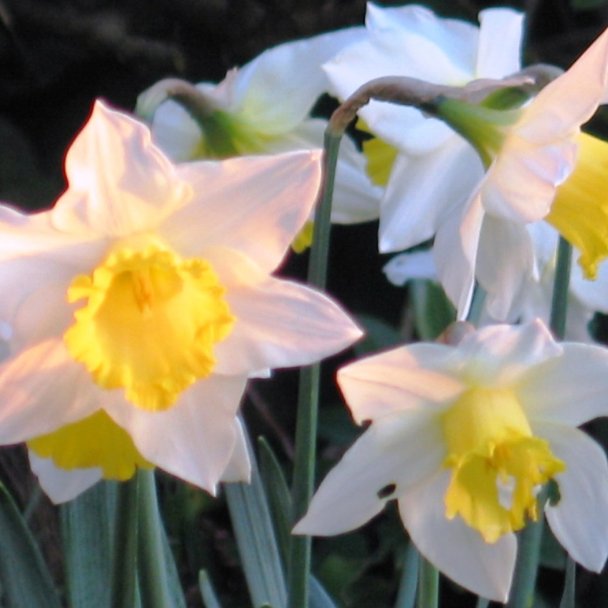 spring daffodils in Cornwall