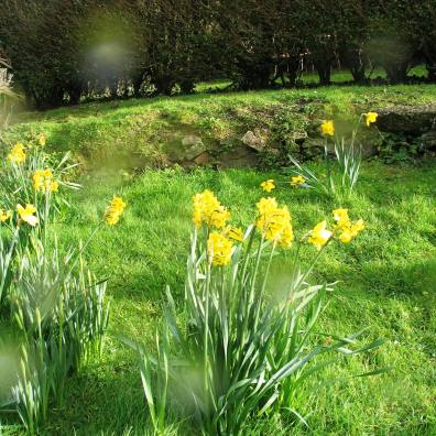Daffodils and raindrops in the sunshine