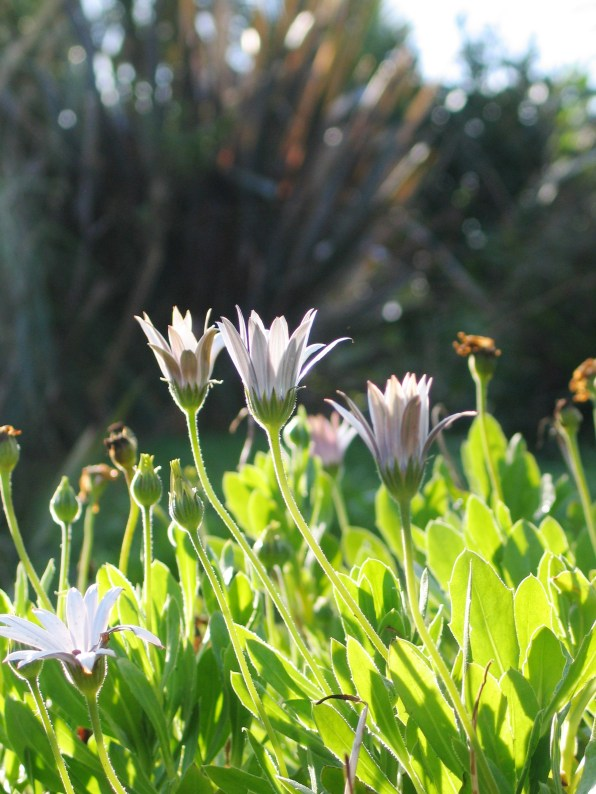 South African daisies do well in our climate