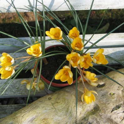 I put the little pot of crocus a little higher so that I can admire them as I walk to and fro