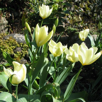 Tulips spring