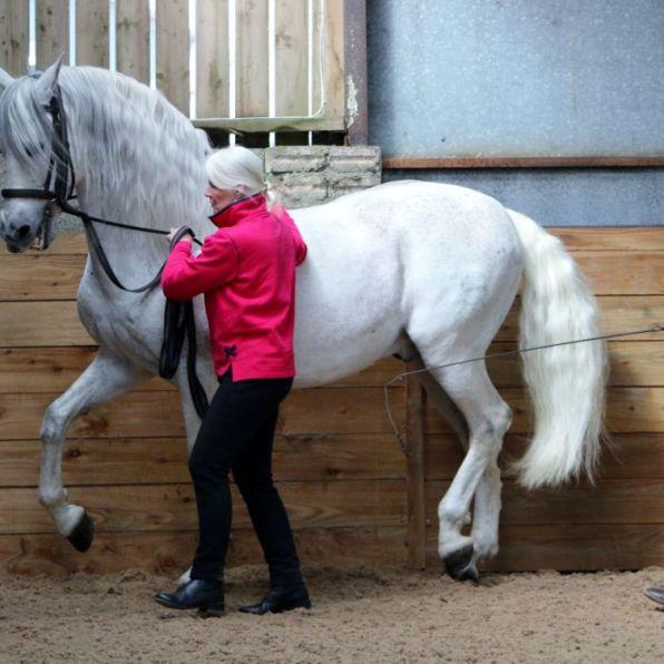 Spanish Stallion in hand