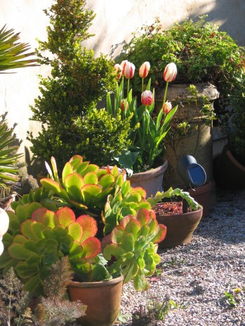 Pots of succulents and tulips in one of the courtyard enclosures