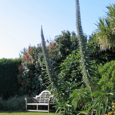 A garden bench at Ednovean Farm gives an idea of the height of the echiums